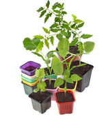 Young Seedlings Sprouts and colored pots — Stock Photo