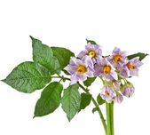Nice bouquet flowers potato with leaves close up — Stock Photo