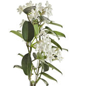 Jasmine Stephanotis floribunda plant — Stock Photo