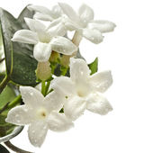 Jasmine Stephanotis plant — Photo
