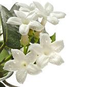 Jasmine stephanotis plant — Stockfoto