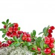 Cranberries in Northern Reindeer Lichen close up isolated on white background — Stock Photo