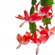 Blooming Christmas Cactus Schlumbergerisolated on white background — Stock Photo #36634815