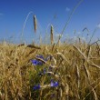 Rye field on a blue sky background — Stock Photo