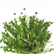 Stock Photo: Bunch of green leaves dandelions (taraxacum) isolated on white background