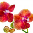 Beautiful Flower Orchid close up macro shot isolated on white background — 图库照片