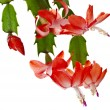 Blooming Christmas Cactus Schlumbergerisolated on white background — Stock Photo #36635255