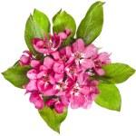 Pink cherry blossom (sakura flowers), close up macro shot — Stock Photo #36635303