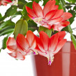 Blooming Christmas Cactus (Schlumbergerspecies) in flowerpot isolated on white background — Stock Photo #36635389