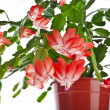 Blooming Christmas Cactus (Schlumbergerspecies) in flowerpot isolated on white background — Stock Photo #36635643
