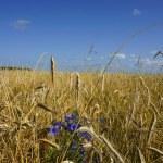 Rye field on a blue sky background — Stock Photo