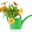 Orange flower bouquet of calendula in a watering can Isolated on white background — Stock Photo #36635755