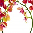 Border frame of Flower Orchid close up with copy space for text isolated on white background — Stock Photo