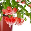 Blooming Christmas Cactus (Schlumbergera species) in flowerpot isolated on white background — Stock Photo