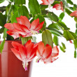 Blooming Christmas Cactus (Schlumbergerspecies) in flowerpot isolated on white background — Stock Photo #36635833