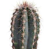 Cacti isolated on white background — Stock fotografie