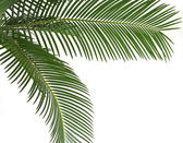 Green leaf of palm tree, border frame on white background — Stock Photo