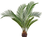 One Palm tree cycas revoluta isolated on white background — Stock Photo
