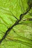 Wet seaweed kelp (laminaria) surface top view close up macro shot texture background — Stock Photo