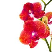 Beautiful Flower Orchid close up macro shot isolated on white background — Photo