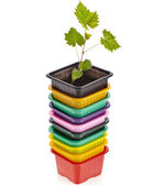 Grape seedlings in a disposable plastic flowerpot isolated on white background — Stock Photo