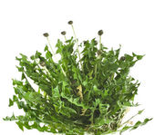 Bunch of green leaves dandelions (taraxacum) isolated on white background — Stock Photo