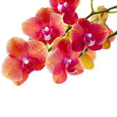 Beautiful Flower Orchid close up macro shot isolated on white background — Stock Photo