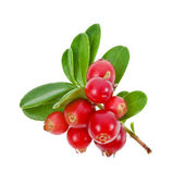 Cowberry Lingonberry (Vaccinium vitis-idaea) isolated on white background — Stock Photo
