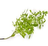 Green fresh basil flowering close up macro isolated on white background — Stock Photo