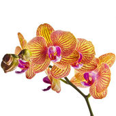 Beautiful colorful flower Orchid, phalaenopsis close up isolated on white background — Stock Photo