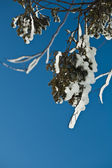 Winter rime and snow ice covered fir coniferous branch on blue sky background — Stock Photo