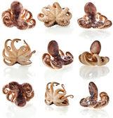 Octopus close-up macro schot reeks geïsoleerd op witte achtergrond — Stockfoto