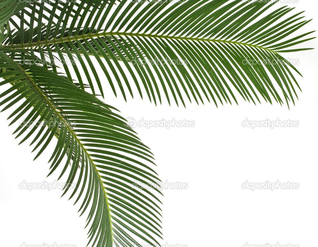 feuille verte de palmier un cadre de bordure sur fond blanc photographie madllen 36634915. Black Bedroom Furniture Sets. Home Design Ideas