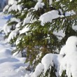 Frozen fir spruce tree in the snow winter forest — Stock Photo #38075285