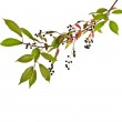 The branch of bird-cherry tree (Prunus padus) isolated on a white background — Stock Photo