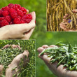 Collage of handful oats, wheat and raspberries on green summer field, harvest concept — Stok fotoğraf