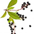 The branch of bird-cherry tree (Prunus padus) isolated on a white background — Stock Photo #38075409