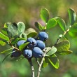 Bog Northern Bilberry — Stock Photo #38075635