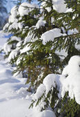 Frozen fir spruce tree in the snow winter forest — Stock Photo