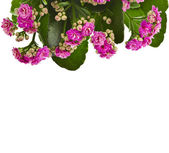 Border of Kalanchoe Calandiva flower isolated on white background — Stock Photo