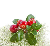 Cranberry Cowberry bush close up on Moss Reindeer isolated on white — Stock Photo