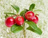 Cowberry Plant on Moss Reindeer, close up macro shot — Stock Photo