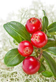 Cranberry Cowberry bush close up on Moss Reindeer surface — Stock Photo