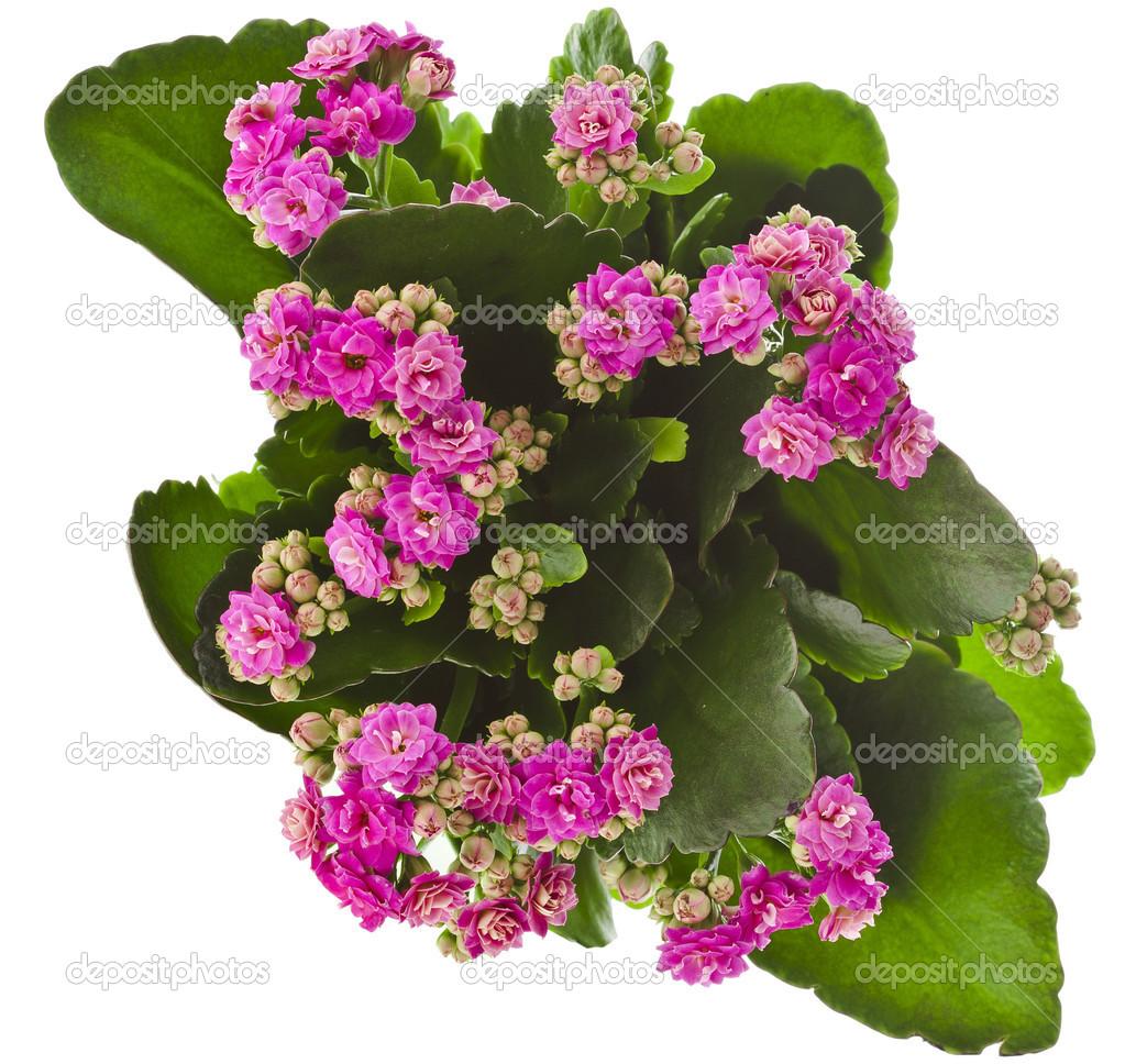 kalanchoe tropical flor suculenta planta planta ornamental