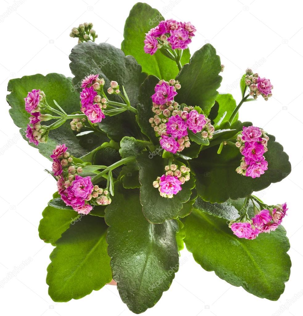 Tropical De Fleur Kalanchoe Succulente Plantes Plante Ornementale D 39 Int Rieur Isol Sur Fond