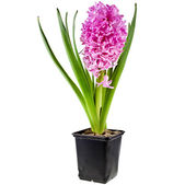 Spring flowers of hyacinth in black flowerpot — Stock Photo