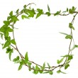 Border frame of Green ivy plant close up — Stock Photo