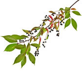The branch of bird-cherry tree — Stock Photo