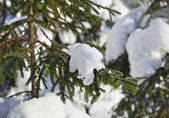 Fir branches in the snowdrift — Stock Photo