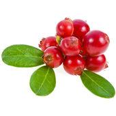 Cranberry  close up — ストック写真